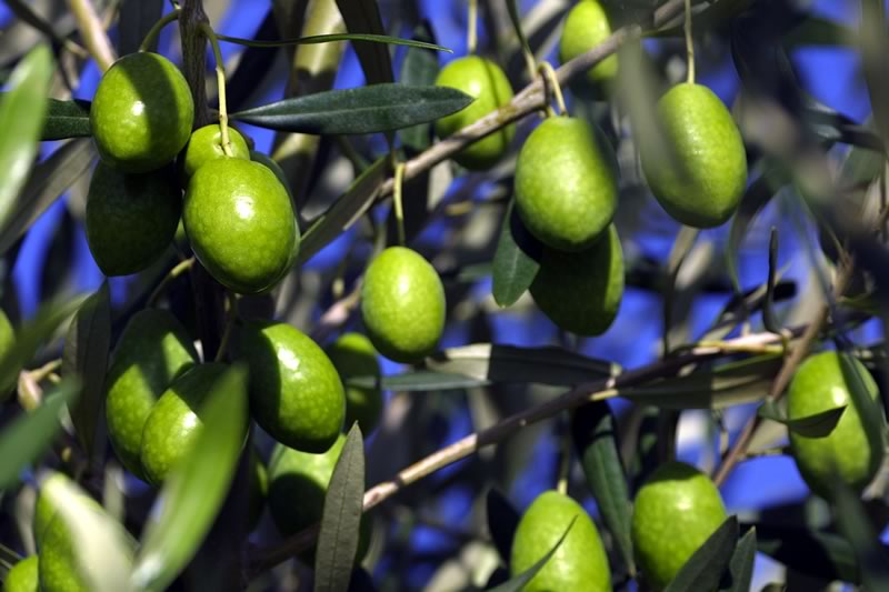 Olives Hunter Valley