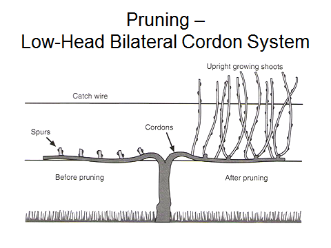 Pruning Of Wine Grape Vines In The Hunter Valley Blog