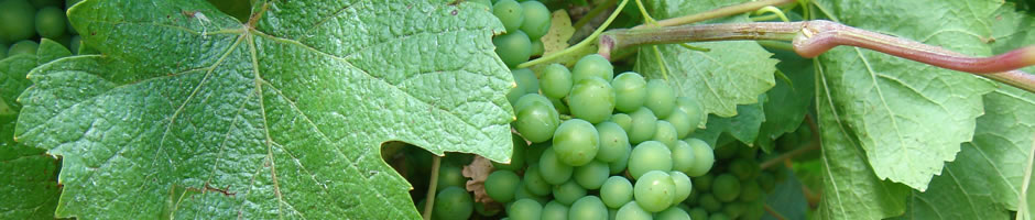 grape-vine-1.jpg