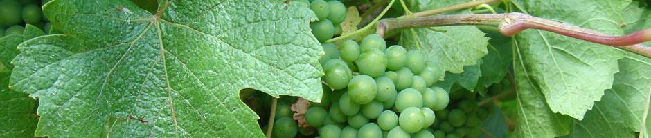 grape-vine-1.jpg